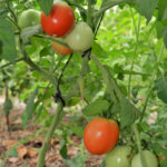 tomato 3.2 edited